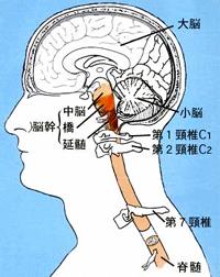 上部頸椎と脳の関係 東大阪市の藤井カイロプラクティック